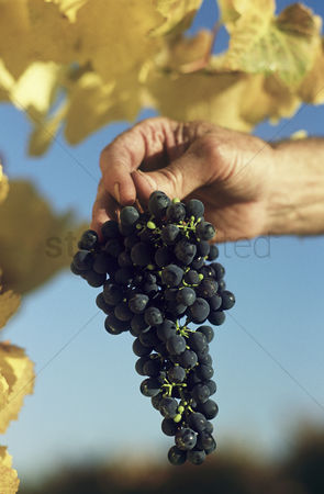Grapes : Man holding bunch of black grapes yarra valley victoria australia