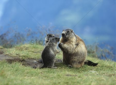 Animals in the wild : Marmot with young