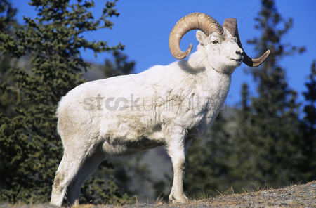 Trees : Mountain goat near forest