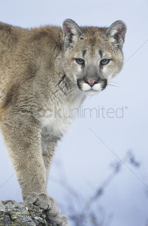 Alert : Mountain lion standing on rock