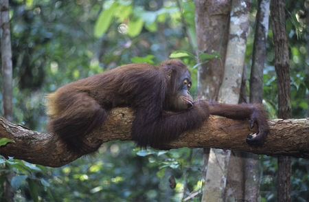 Trees : Orangutan resting on branch in forest