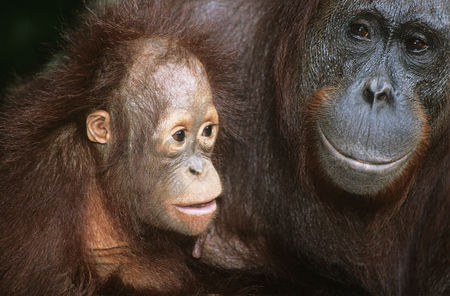 Animals in the wild : Orangutan with young close-up