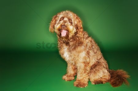 Dogs : Otterhound sitting with tongue out