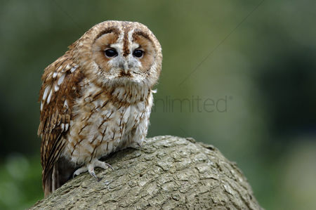 Animals in the wild : Owl