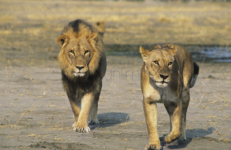Leadership : Pair of lions walking on savannah