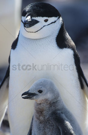Animals in the wild : Penguin chick with mother close-up