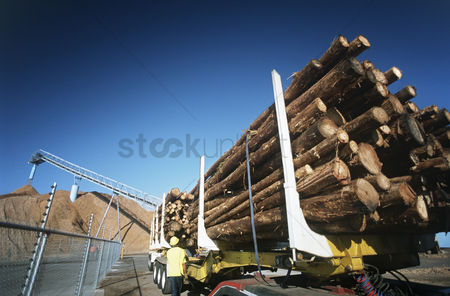 Truck : Plantation eucalyptus  bluegum  trees being prepared for woodchipping