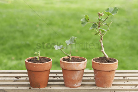 Grass : Potted geraniums