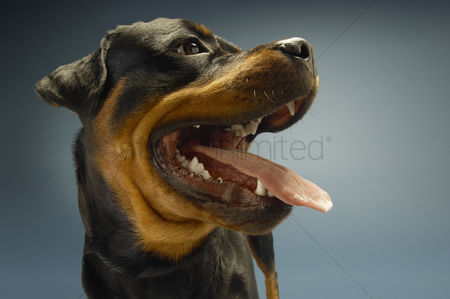 Alert : Rottweiler on blue background close-up