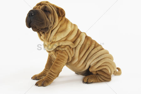 Dogs : Shar-pei sitting side view