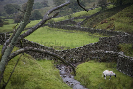 Land : Sheep on pasture in yorkshire dales yorkshire england