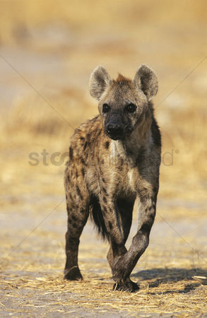 Animals in the wild : Spotted hyena  crocuta cocuta  standing on savannah