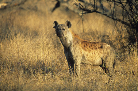 Alert : Spotted hyena  crocuta cocuta  standing on savannah