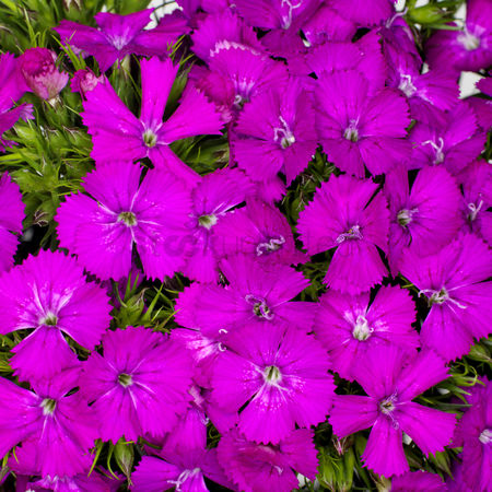 Spring : Sweet william