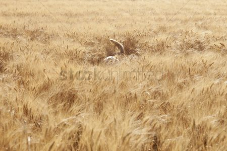 Land : Tail of a mixed breed golden retriever-poodle in a field kent