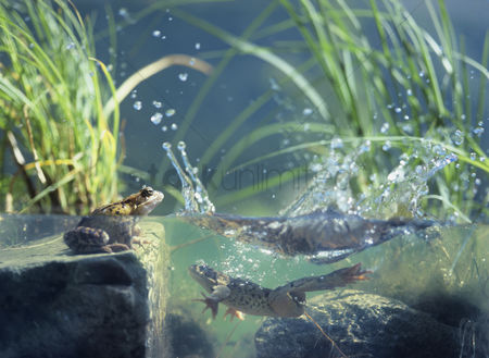 Animals in the wild : Three frogs in water surface view
