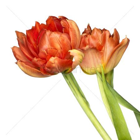 Beautiful : Tulip