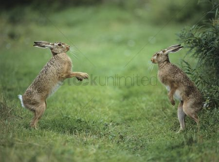 Animals in the wild : Two aggressive hares