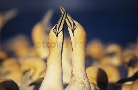 Spring : Two gannets courting near colony