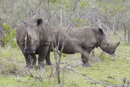African wildlife : Two rhinoceros stand in african plains
