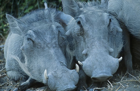 African wildlife : Two warthogs side by side close-up