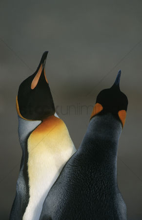 Dance : Uk south georgia island two king penguins doing mating dance close up
