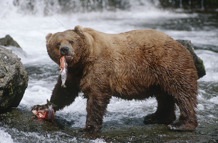 Animals in the wild : Usa alaska katmai national park brown bears eating salmon river side view