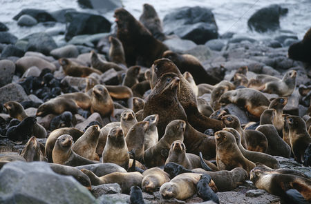Large group of animals : Usa alaska st  paul island colony of northern fur seals on rocky shore