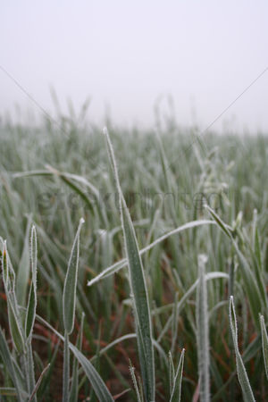 Grass background : View of frozen grass on meadow