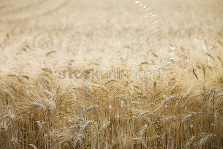 Land : Wheat field
