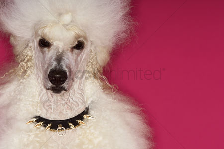 Animal head : White poodle on pink background close-up