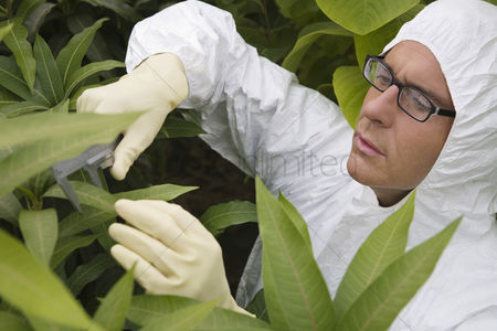 Greenhouse : Worker in protective suit measuring plants